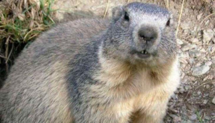 Adolescente morre de peste bubônica após comer carne de marmota; cidade está em quarentena